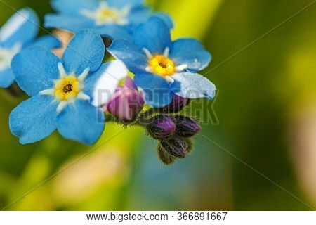 Beautiful Wild Forget-me-not Myosotis Flower Blossom Flowers In Spring Time. Close Up Macro Blue Flo