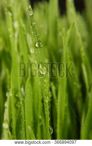 Macro Close Up Of Organic Wheatgrass