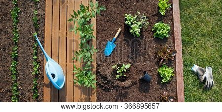 Garden vagetable patch with growing  lettuce, sugar peas, and pots of tomatoes ready to be planted, gardening,  food growing, healthy lifestyle, self sufficient concept