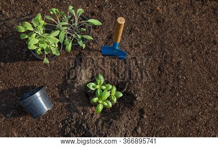 Planting a basil and sage herbs, gardening, food growing, healthy lifestyle, self sufficient concept
