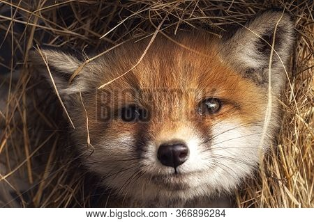 Portrait Of A Young Cute Puppy Red Ginger Fox In The Hay. The Spring Fox Cub Close-up