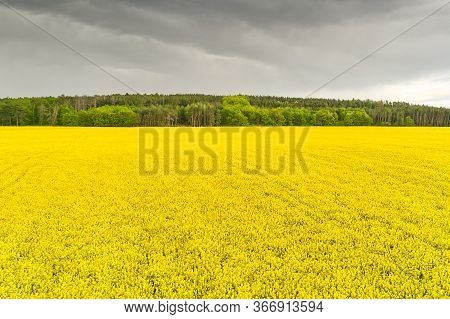 Storm In A Rapeseed Field And Forest. Heavy Clouds Under Yellow Flowers Of Rapeseed. Agriculture And