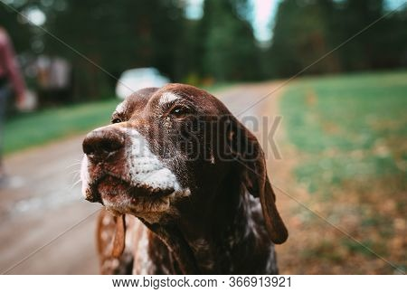 Portrait Of A Dog On Street. Old Dog On Street. Close Up Of Dog. Old German Pointer Pet Dog Animal.