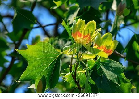 Flowering Tulip Tree (liriodendron Tulipifera, Tulip Tree, American Tulip Tree, Tuliptree) In One Of