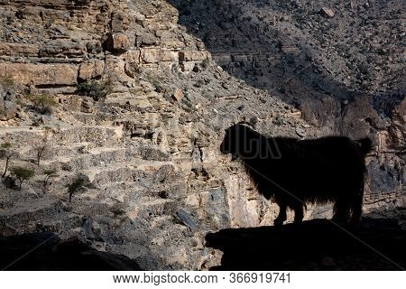 Silhouette Of Arabian Tahr Wild Mountain Goat At Balcony Walk W6, Jebel Shams, Oman