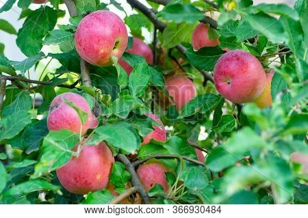 Ripe Red Idared Apples Hang On A Tree In The Garden. Agricultural Farm For Growing Apples. Harvestin
