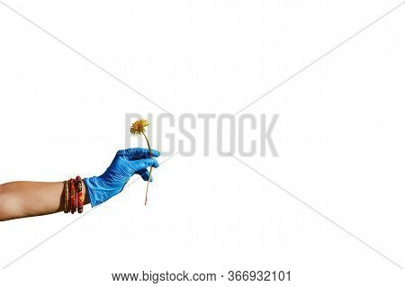 A Hand In A Blue Glove Holds A Dandelion On A White Background