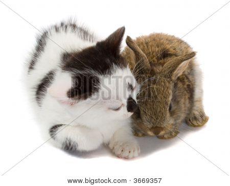 Kitten And Baby Rabbit