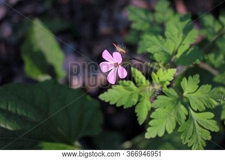 Geranium Robertianum Or Wild Herb Robert Small, Light Pink, Five-petalled Flower With Fern Like Leav