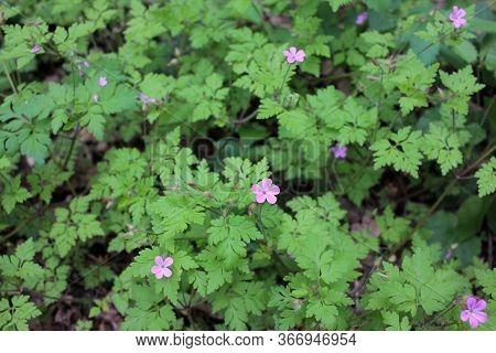 Geranium Robertianum Or Wild Herb Robert Small, Light Pink, Five-petalled Flowers With Fern Like Lea