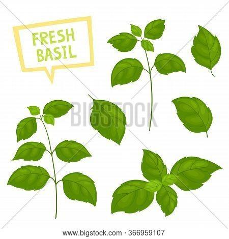Cartoon Green Basil Plants Isolated On White.