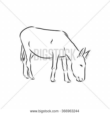 Sketch Donkey. Single Vector Hand Drawn Illustration. Donkey, Vector Sketch Illustration