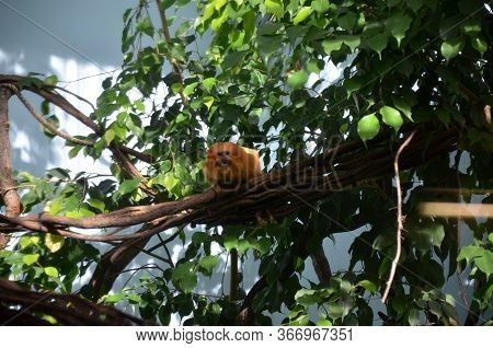 Golden Lion Tamarin (leontopithecus Rosalia), Frankfurt Am Main Zoo