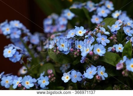 Close Up Myosotis Flowers Or Forget-me-not, High Angle View, Selective Focus