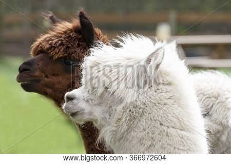 White Alpaca, A White Alpaca In Front Of Brown Alpaca. Selective Focus On The Head Of The White Alpa