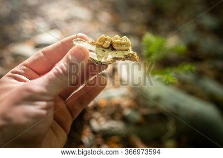 Hand Of Zoological Scientist Holding A Fraction Of Jaw Bone For Brown Bear
