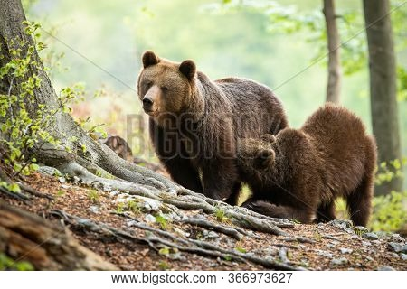 Brown Bear Cub Kneeling By Its Mother And Drinking Milk In Green Forest