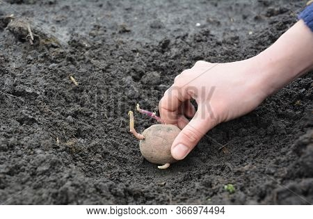 How To Plant Potatoes In The Vegetable Garden: Lay Sprouted Potato At The Bottom Of A Trench And The