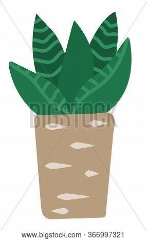 Evergreen Plant In Pot, Interior Decoration. Succulent, Vegetation That Grown Indoor In Potting Soil