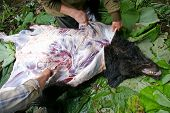 The Hunting handicraft industry. Technology of the removing skin with bear on hunt in taiga. poster