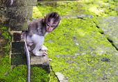 Baby-monkey hiding at sacred monkey forest Ubud Bali Indonesia poster