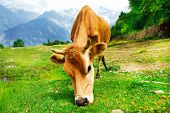 Cow in rural mountainous area poster