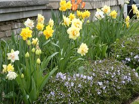 Many Yellow Narcissuses  On The Flower Bed