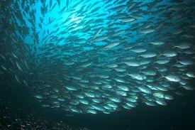 Huge school of tuna fish