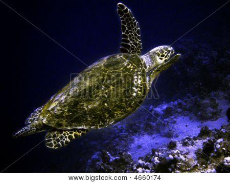 Sea Turtle In Egypt