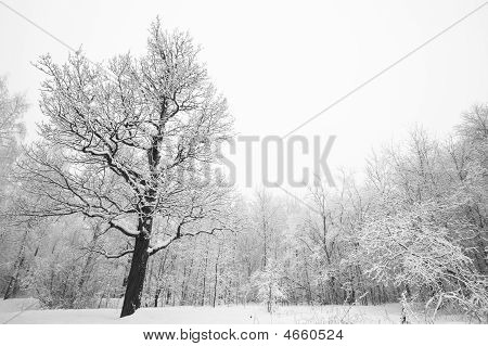 Tree In Winter Forest