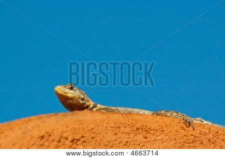 Sunbathing Reptile