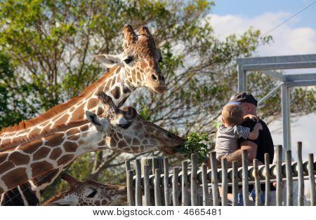 Giraffes Being Feed