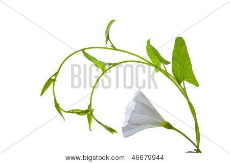Plant With The White Flower And Green Leaves Isolated On White Background