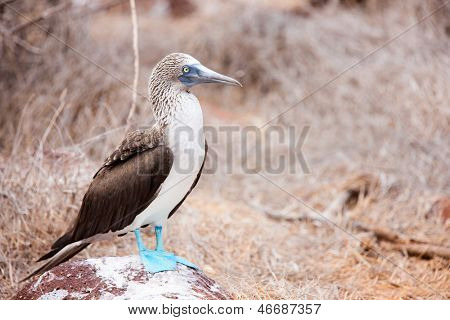 Blue footed booby at Galapagos island of  North Seymour poster