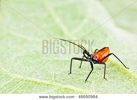 Red Assassin Insect On Leaf