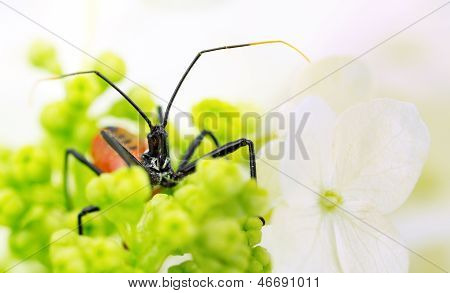 Assassin insect, aka wheel bug, hides in hydrangea blossom, macro poster