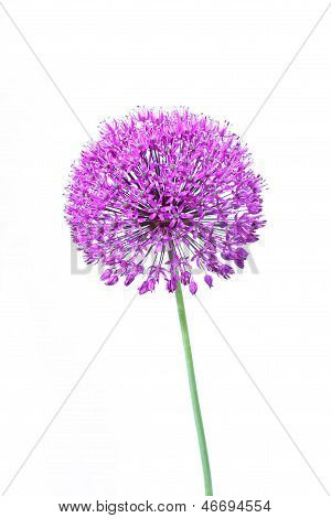 Beautiful Blooming Allium Close Up