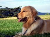 Golden Retriever Side Profile View Laying Down poster