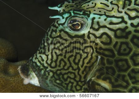 Closeup Of Honeycomb Cowfish