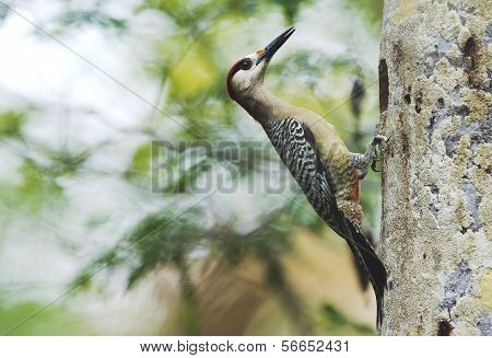 West Indian Woodpecker (melanerpes Superciliaris)