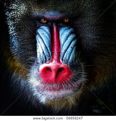 mandrill close-up portrait (Mandrillus sphinx)