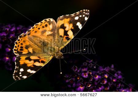 Painted lady drinking nectar from flowers of butterfly bush on summer day poster