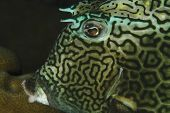 Closeup of Honeycomb Cowfish head (Lactophrys polygonia) underwater poster