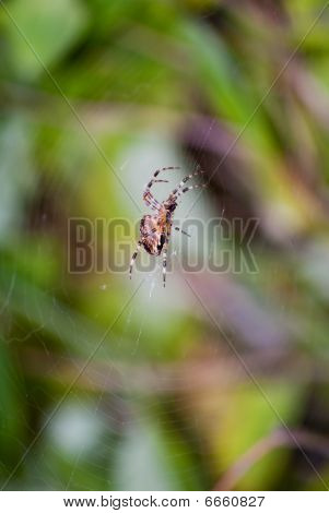 A close up view of a common garden spider in the middle of it's web. poster