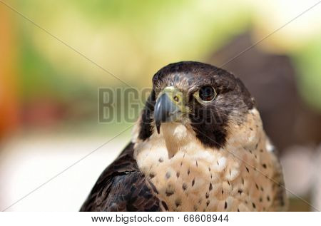 Birds Predator - Peregrine Falcon (Falco peregrinus) poster