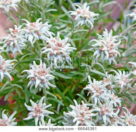 Famous flower Edelweiss (Leontopodium alpinum), symbol of alps