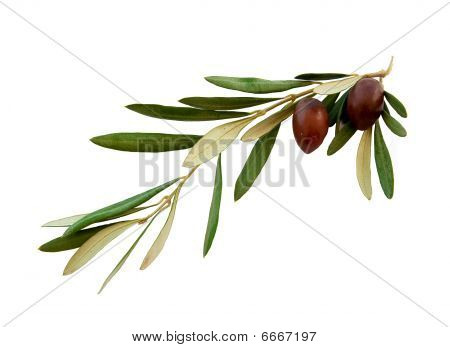 Olive branch with green leaves and two olives on a white