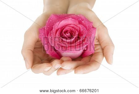 Female Hands Holding Rose On White, Close-up Isolated