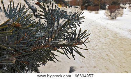 Branch Of Fir-tree In Snow
