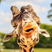 Giraffe (Giraffa camelopardalis) chewing. This is a captivity shot - taken at Knowsley Safari park Prescot Merseyside L34 4AN . May 2010 poster